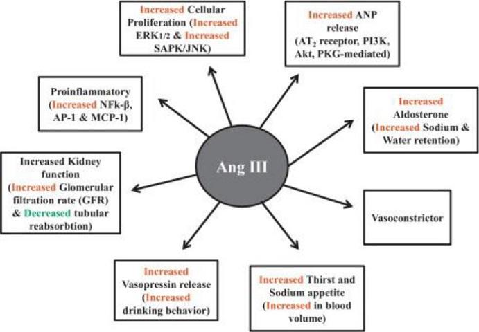 Mechanism of action of Ang III